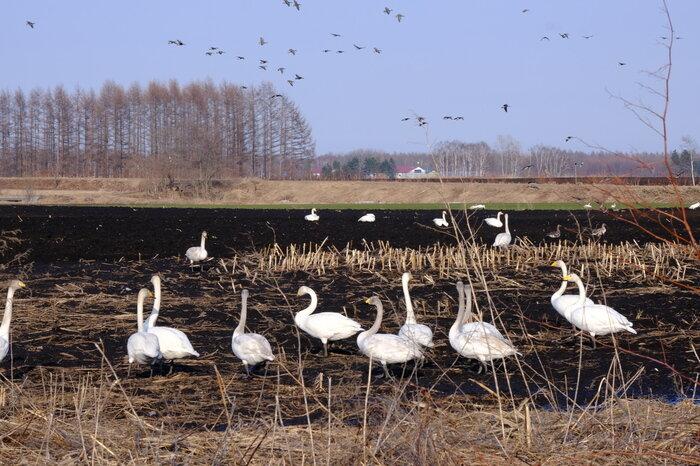 画像17 白鳥とマガン.jpg