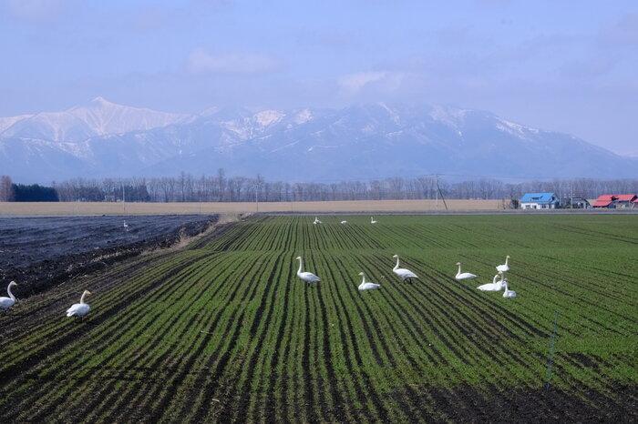画像19 日高山脈と白鳥.jpg